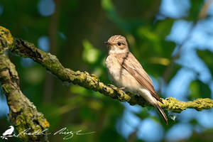 Spotted flycatcher (Muscicapa striata) by PhotoDragonBird
