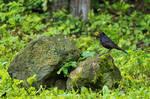 On the rock - Common blackbird (Turdus merula)