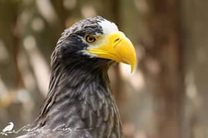 Steller's sea eagle (Haliaeetus pelagicus) by PhotoDragonBird