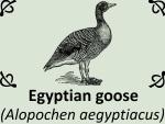 Egyptian goose (Alopochen aegyptiacus) by PhotoDragonBird