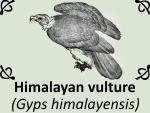 Himalayan vulture by PhotoDragonBird