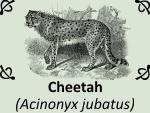 Cheetah (Acinonyx jubatus) by PhotoDragonBird