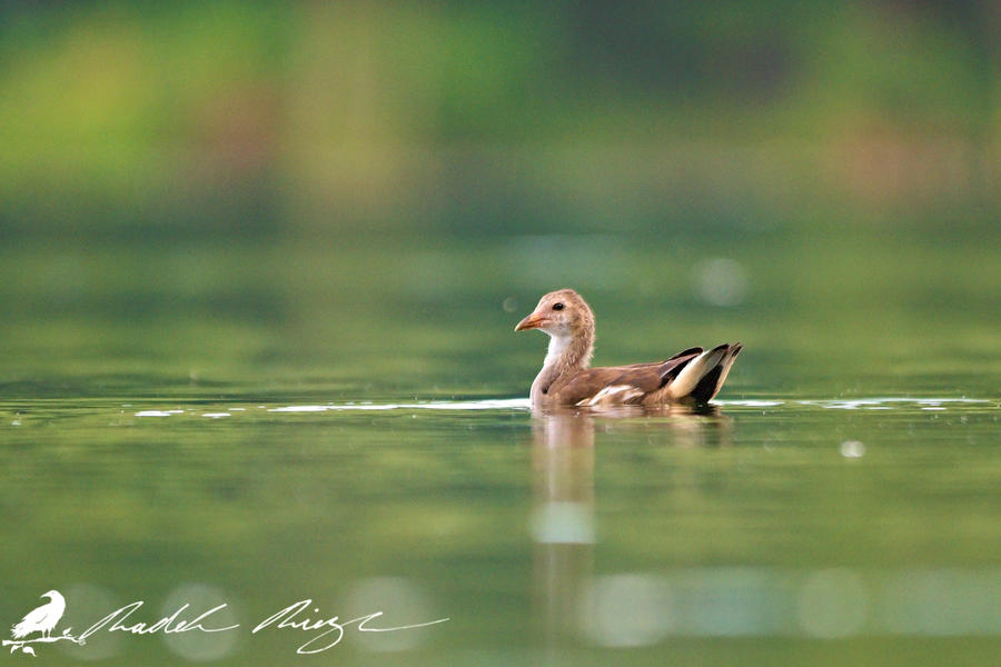 Young Common moorhen (Gallinula chloropus) by PhotoDragonBird