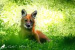 I am wolf, no fox!