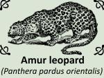 Amur leopard (Panthera pardus orientalis) by PhotoDragonBird