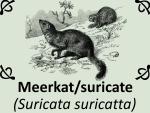 Meerkat suricate (Suricata suricatta) by PhotoDragonBird