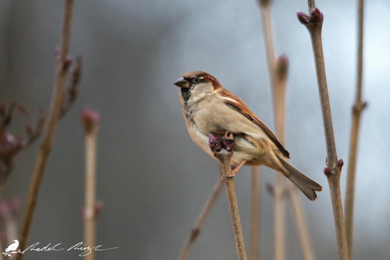 Sparrow by PhotoDragonBird