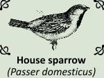 House sparrow (Passer domesticus) by PhotoDragonBird