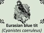 Eurasian blue tit (Cyanistes caeruleus) by PhotoDragonBird
