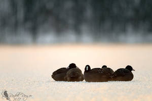 Resting on ice by PhotoDragonBird