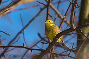 Yellowhammer by PhotoDragonBird