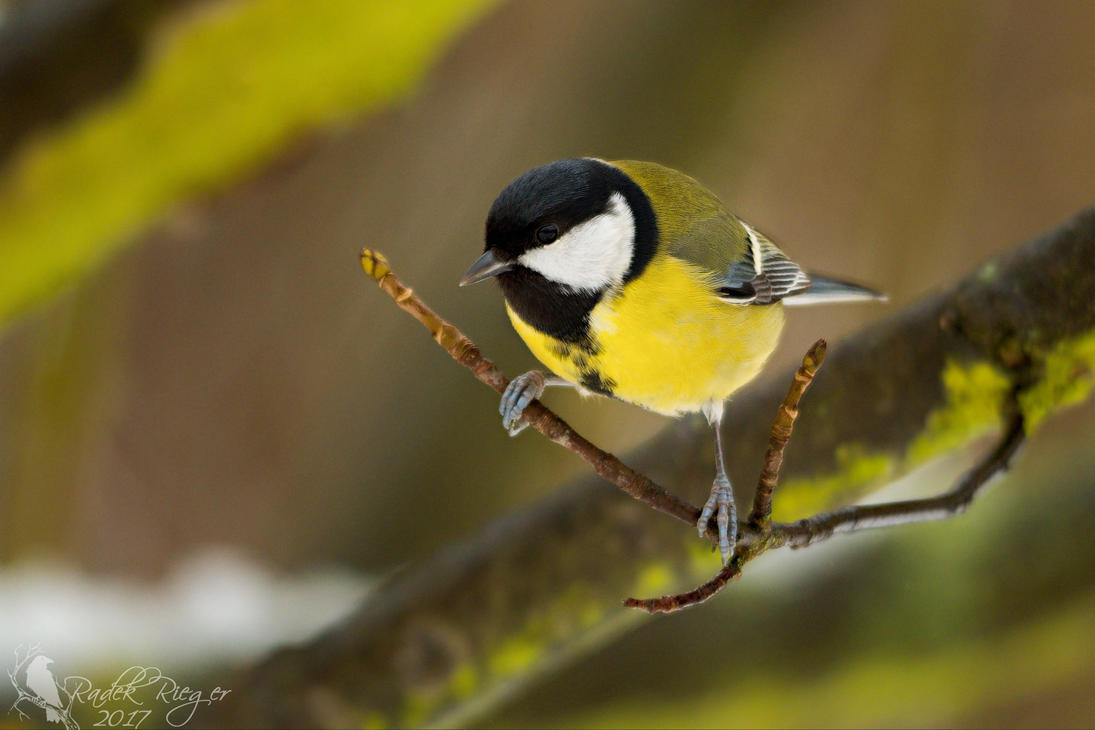 The great tit (Parus major) by PhotoDragonBird