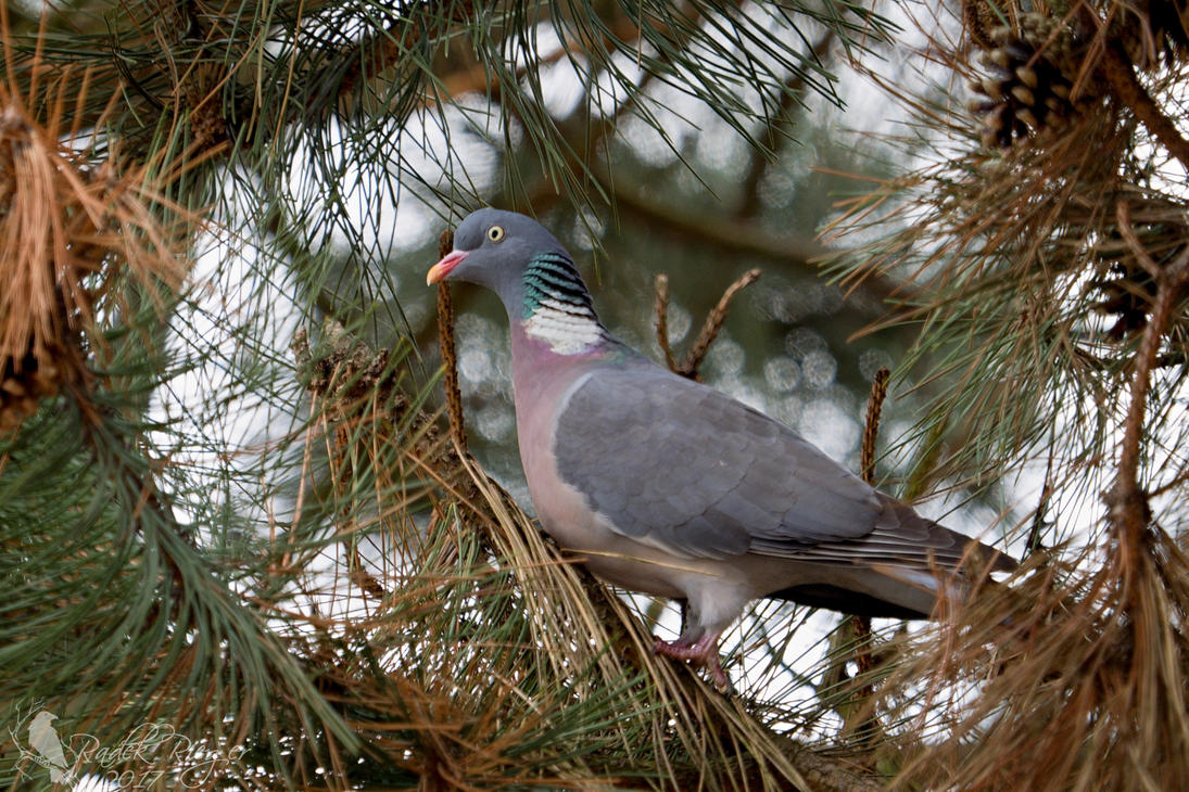 Common wood pigeon by PhotoDragonBird
