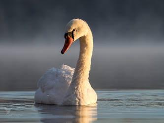 Swan in morning fog by PhotoDragonBird
