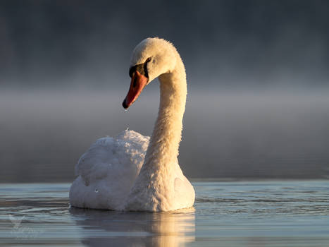 Swan in morning fog