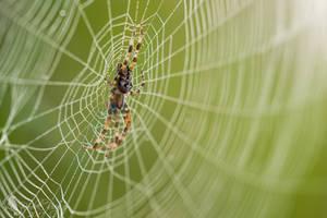 Cross spider (Araneus diadematus) by PhotoDragonBird