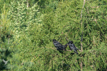 Common raven family by PhotoDragonBird