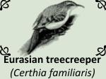 Eurasian treecreeper (Certhia familiaris)jpg by PhotoDragonBird