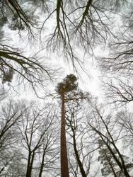 Scots pine (Pinus sylvestris) by PhotoDragonBird