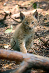 Cute lynx cub