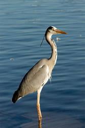 The Heron by spoilerhead
