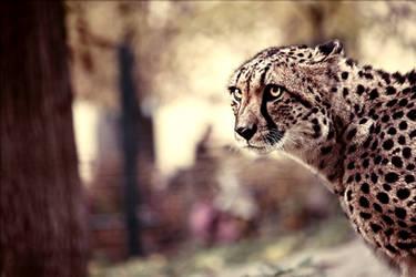Cheetah by spoilerhead