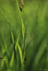 Leaf of Grass II by VisitingFahrrad