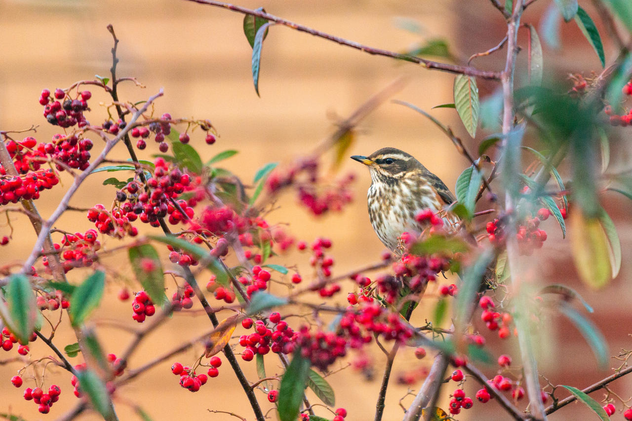 Another Redwing