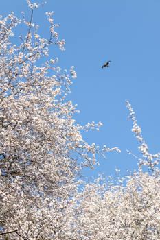 Blackthorn Kite