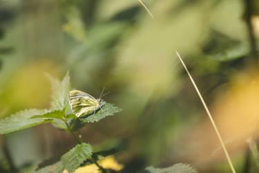 Green-veined White Underwing