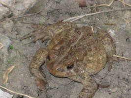 The garden Toad