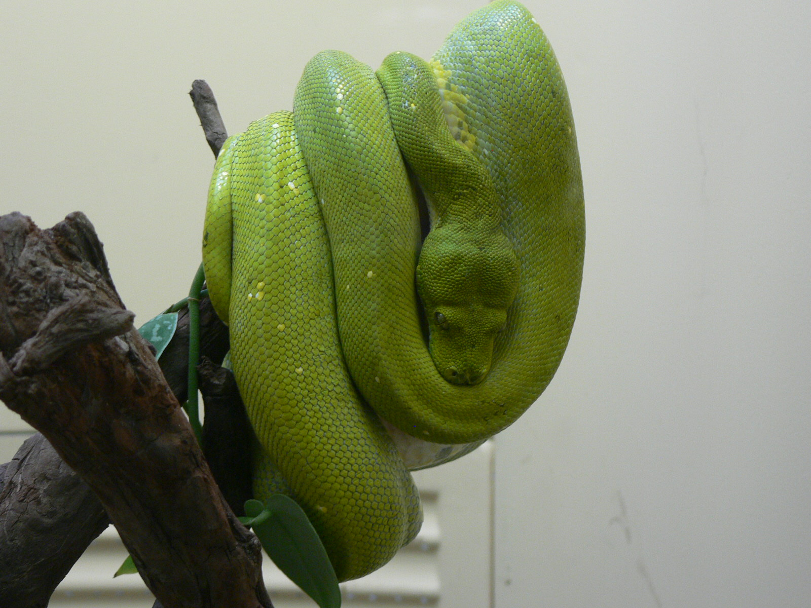 Green Tree Python by magikwolf