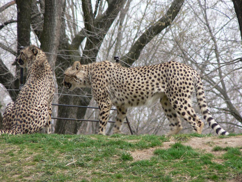 cheetahs by magikwolf