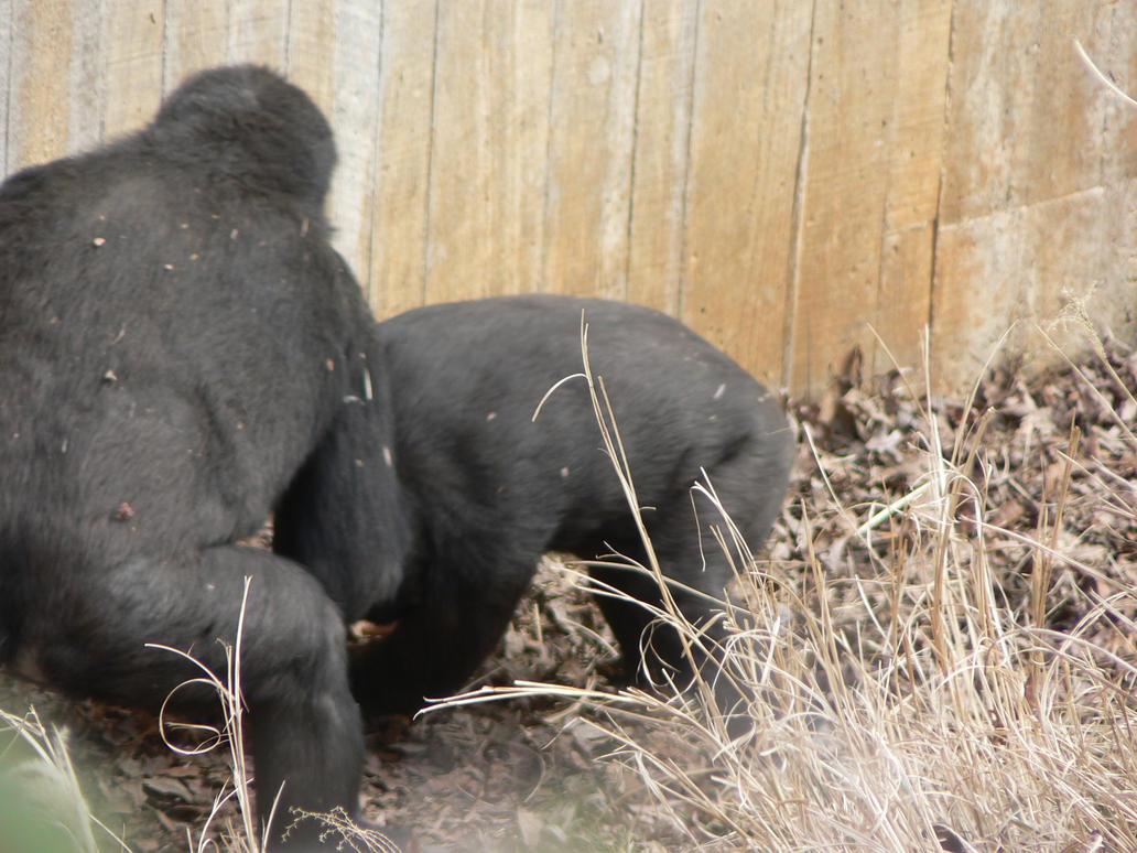Two Gorillas wrestling by magikwolf