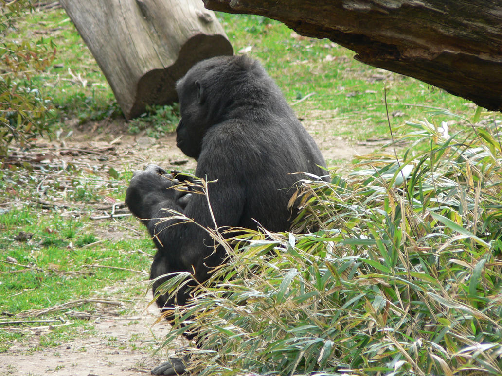 Young Gorilla by magikwolf