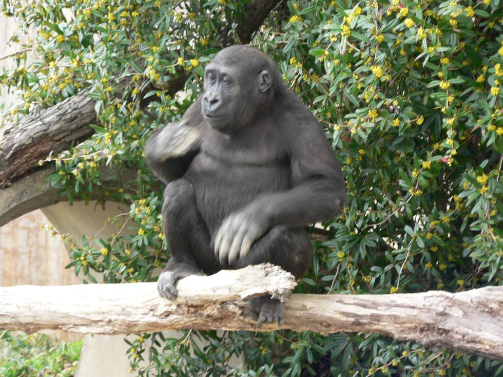 Kid Gorilla Beating Chest by magikwolf