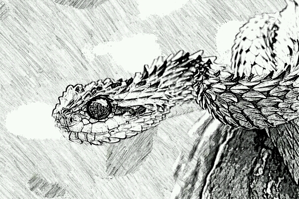 Horned Viper Drawing Horned Bush Viper by