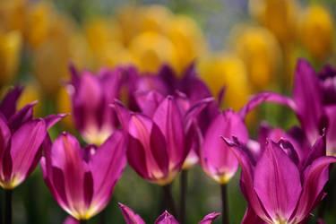 Tulips 5 by KilCillian