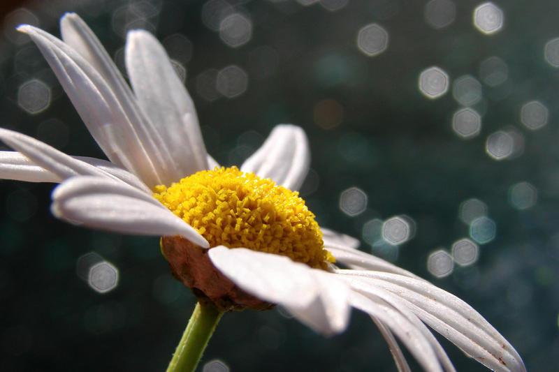 Daisy   by ldinami7e