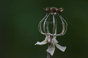 Poppy seedhead final breakdown