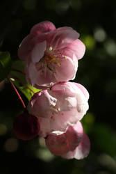 Apple blossom 3 by langeboom