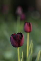 dark tulips by langeboom