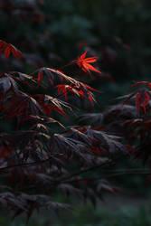 Acer by langeboom