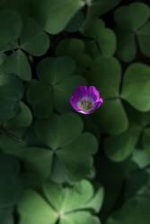 Oxalis 2 by langeboom