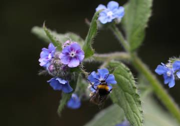 bumblebee by langeboom