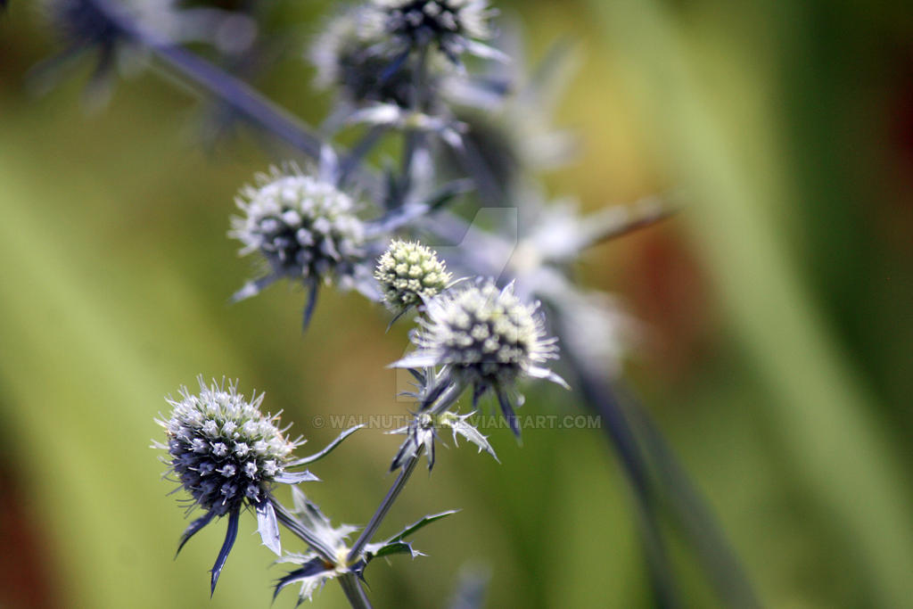 Thistle-ish Sea Holly by WalnutHill