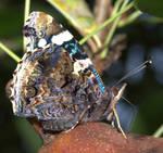 Butterfly drinking