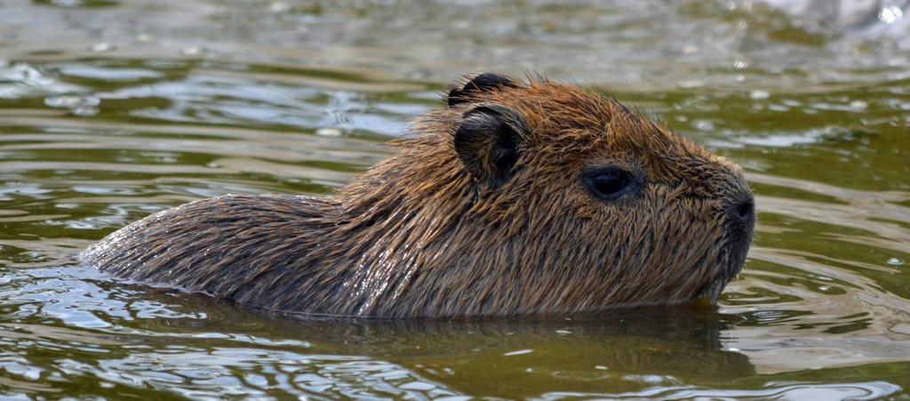 Baby Capybara takes a swim by priwax on DeviantArt