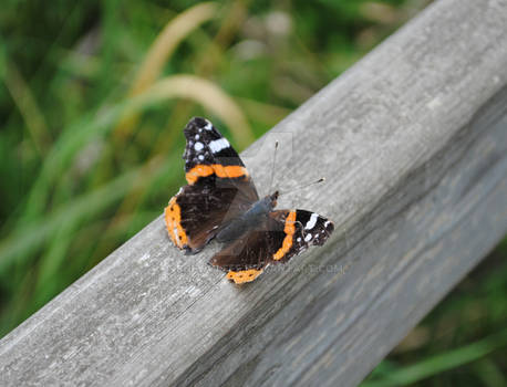 Obliging Butterfly