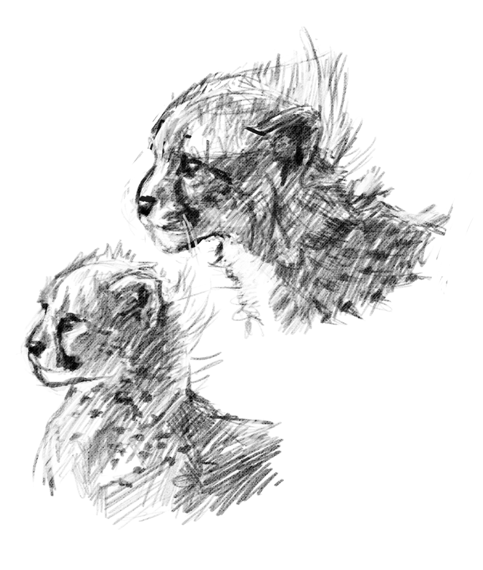 Assignment 1 Studies: Juvenile Cheetahs by winterbourne